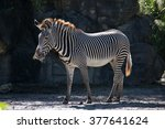Grevy's Zebra Stands In Front...