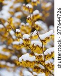 snow covered witch hazel ... | Shutterstock . vector #377644726