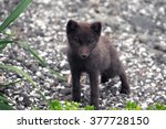 Small photo of arctic fox of Commander Islands (Aleutian archipelago)