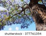 Jacaranda Tree And Bloom