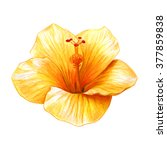 Hibiscus Yellow Drawing  Rosa...