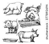 Sketch Of Pigs. Farm. Farm...