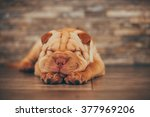 Stock photo shar pei puppy sleeping on the floor selective focus on closed eyes 377969206
