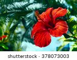 Big Red Hibiscus Flower On The...