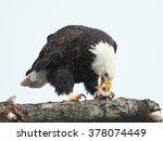 Bald Eagle Eating A Fish.