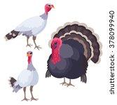 Turkeys On White Background  ...