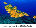 Panamic Porkfish  Anisotremus...