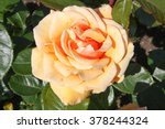 Single Peach Colored Rose
