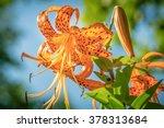 Closeup Of Orange Tiger Lily ...