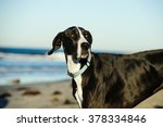 Black And White Great Dane At...
