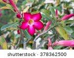 adenium obesum. beautiful ping...   Shutterstock . vector #378362500