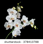 Two White Orchid Phalaenopsis...