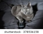 Adorable Russian Blue Cat Mix...