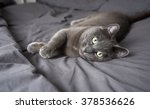 Stock photo adorable russian blue cat mix relaxing on owner s bed with gray sheets 378536626