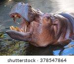 Hippopotamus Showing Huge Jaw...