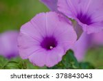 Purple Morning Glory Flowers O...