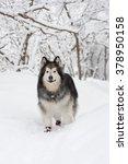 Alaskan Malamute Posing In A...