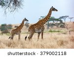 Mother And Baby Giraffe Wendin...