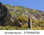 An Arctic Ground Squirrel Look...