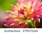 Flower Dahlia  Beautiful Summe...