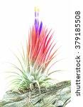 Pink Air Root Plant In Bloomim...