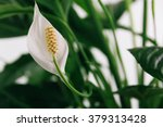 White Flower Lily ...