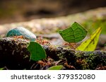 Leafcutter Ants  Atta Sp.  ...