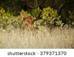 beautiful axis deer baby from... | Shutterstock . vector #379371370
