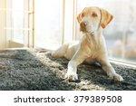 Stock photo cute labrador dog on gray carpet closeup 379389508