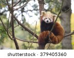 Little Red Panda Resting In A...