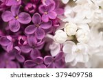 Purple And White Lilac Flower...