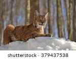 Young European Lynx Sitting In...