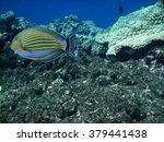 Small photo of Striped surgeonfish (Acanthurus Lineatus)