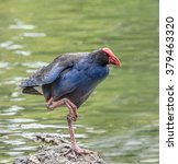 Small photo of New Zealand Takahe bird standing on rock
