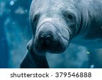 Manatee Close Up Portrait...