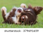 Chihuahua Dog Lying On The Lawn.