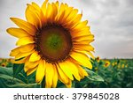 Yellow Sunflower And Gray Sky ...