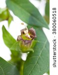 Small photo of Belladonna (Belladonna) - flower and leaves