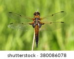 European Four Spotted Chaser...