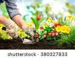 gardeners hands planting... | Shutterstock . vector #380327833
