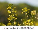 Yellow Flowers  Wild Mustard