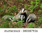european badger  meles meles   Shutterstock . vector #380387926