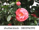 red with white camellia flowers