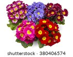 Spring Primroses Flowers ...