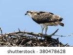Osprey On Nest   Blue Sky