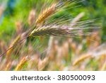 close up of a barley ears in... | Shutterstock . vector #380500093