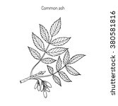 Common Ash Tree Branch With ...