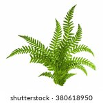 Green Leaves Of Fern Isolated...