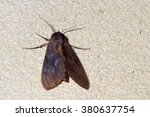 Small photo of Sphinx Moth, Lapara sp.