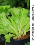 the lettuce  | Shutterstock . vector #380685958